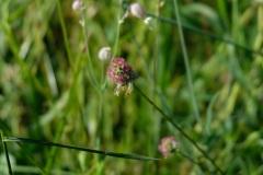 Pole U dubu - květnatá louka